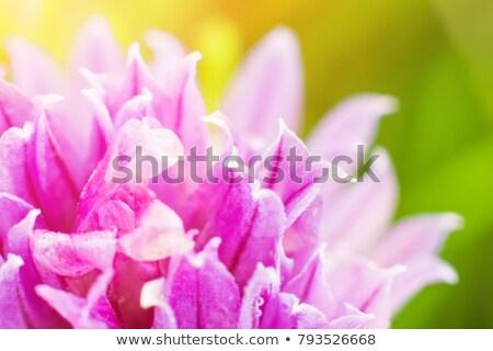 Piros lóhere közelkép virág makró zöld Stock fotó © Anterovium