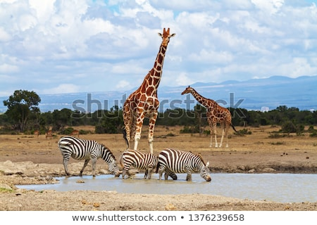 Giraffe (Giraffa camelopardalis) and Plains Zebra (Equus quagga) Stock photo © dirkr