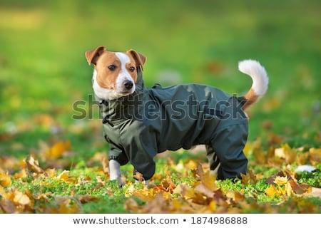 Psa sweter chińczyk szczeniak odizolowany Zdjęcia stock © willeecole