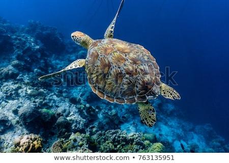 плаванию · морем · черепахи · бирюзовый · воды · оболочки - Сток-фото © jfjacobsz