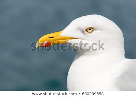 seagull bird close up falmouth uk stock photo © latent
