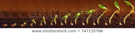 Green seedling germinating in soil Stock photo © stryjek