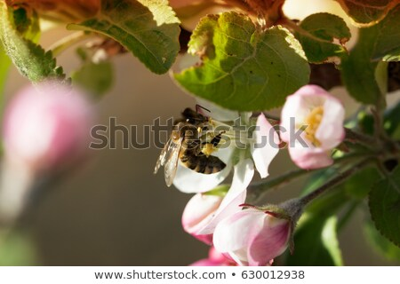 inflorescence of apple tree  Stock photo © Andriy-Solovyov