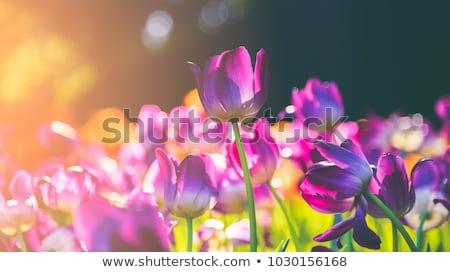 розовый · тюльпаны · белый · природы · фон - Сток-фото © fanfo