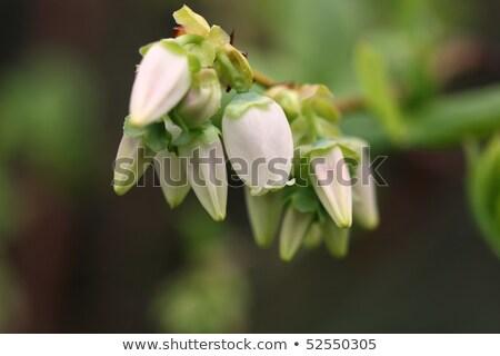北方 ブルーベリー 白い花 食品 フルーツ フィールド ストックフォト © joannawnuk