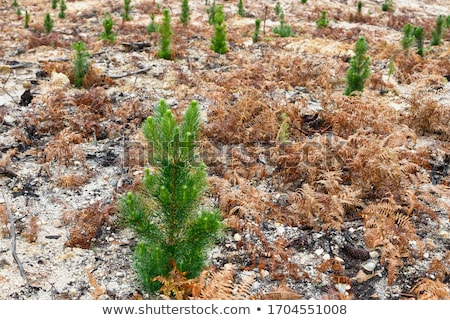 land with trees after fire Stock photo © OleksandrO