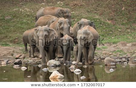 Asian elephant drinking water Stock photo © epstock