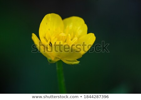 St. Anthony's Turnip (Ranunculus bulbosus) stock photo © pazham