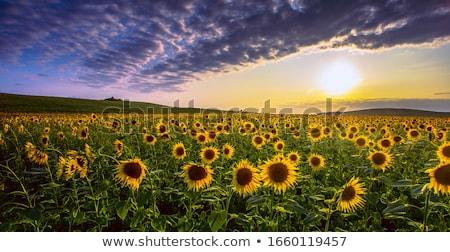 ayçiçeği · çit · beyaz · çiçek · doğa · dizayn - stok fotoğraf © tracer