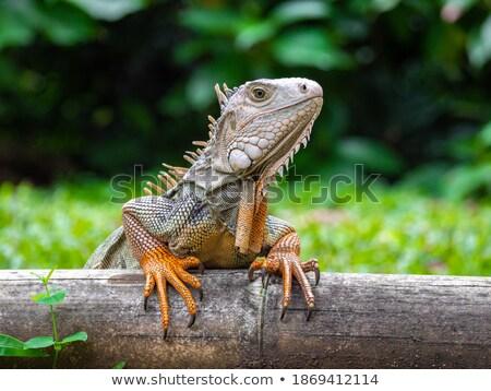 Iguana stałego krajobraz tle sztuki dziedzinie Zdjęcia stock © bluering