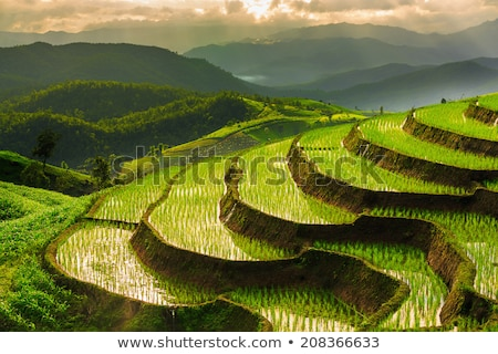 Stock photo: Rice Paddy