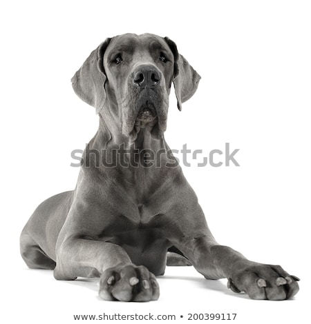 Stock photo: Great Dane lying in the white studio floor