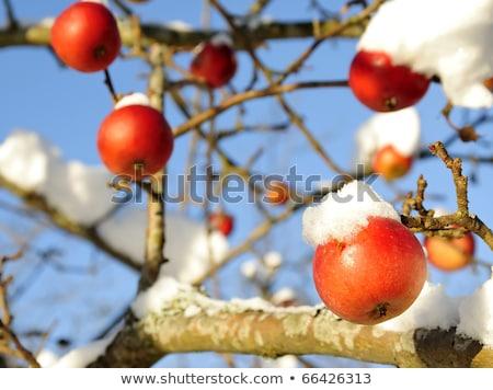 Kırmızı elma kış elma ağacı mavi gökyüzü meyve Stok fotoğraf © meinzahn