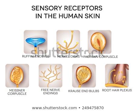 Sensory receptors in the human skin, detailed illustrations. Stock photo © Tefi
