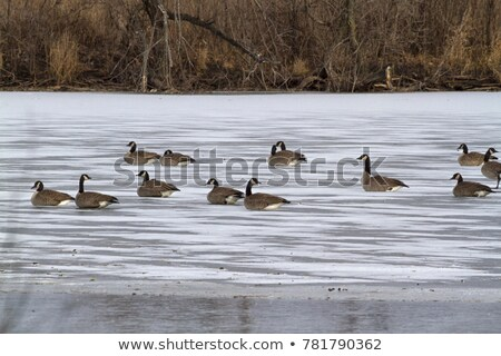 Canada Geese on an Icy Pond Stock photo © brianguest