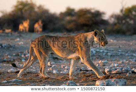Lion walking in front of a herd of Impalas. Stock photo © simoneeman