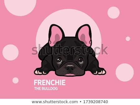 Tier Hund Französisch Bulldogge weiß isoliert Stock foto © OleksandrO