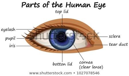 Diagram tonen onderdelen menselijke oog illustratie Stockfoto © bluering