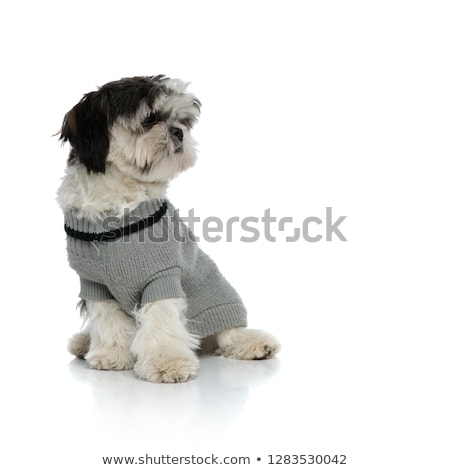 cute seated shih tzu in grey cardigan looks to side stock photo © feedough