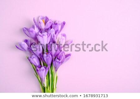 Modèle printemps pourpre crocus vecteur Photo stock © Margolana