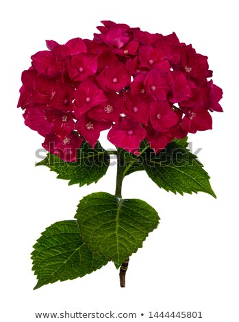 Dark pink / reddish Hortensia flower on white background Stock photo © CatchyImages