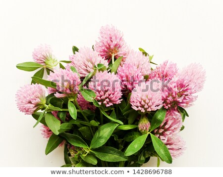 Foto stock: Cavalo · flores · fresco · trevo · branco