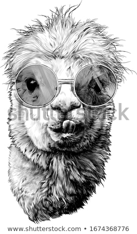 alpaca head etching black and white stock photo © patrimonio