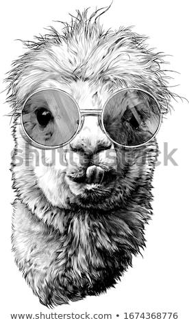 アルパカ 頭 黒白 スタイル 実例 種 ストックフォト © patrimonio