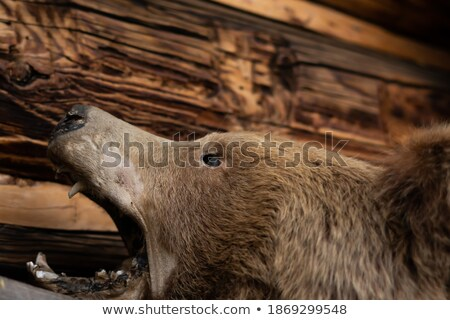 Opened mouth of wild boar. Stuffed animal Stock photo © nomadsoul1