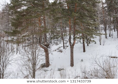 Big nest in Altai mountains forest, Stock photo © olira