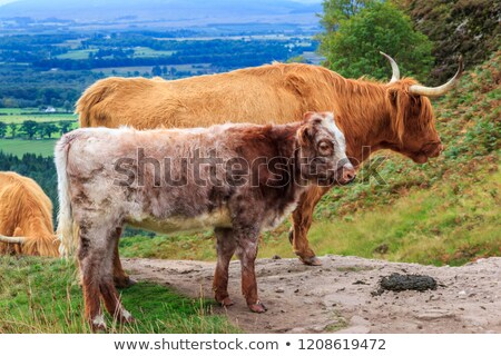 Grazing cows on the hills of Scotland Stock photo © Julietphotography