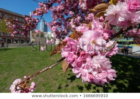 Flor de cereja 18 primavera natureza folha jardim Foto stock © LianeM