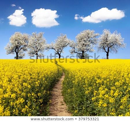 gyönyörű · mezők · nemi · erőszak · tavasz · öreg · fa - stock fotó © julietphotography