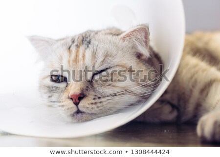 Cat wearing protective collar Stock photo © Komar
