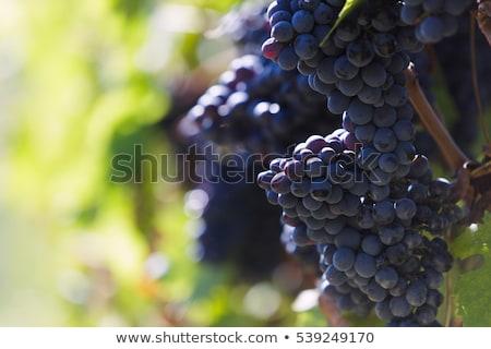 Stok fotoğraf: Tuscany Wineyard