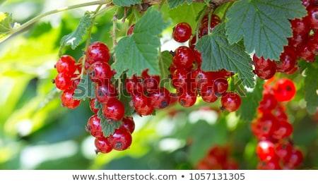 sweet red currants Stock photo © Masha