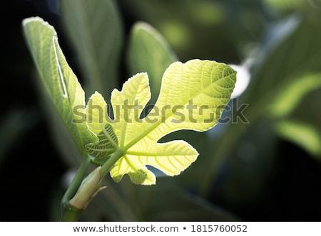 Средиземное море инжир лист небе солнце текстуры Сток-фото © Kuzeytac