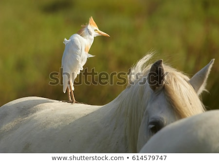 cattle egret on a horse camargue france stock photo © elenarts