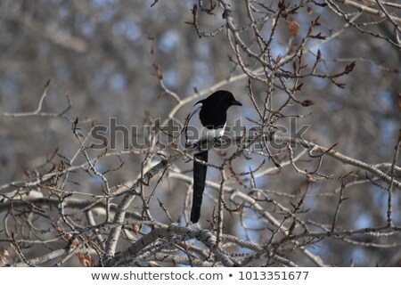 Lonely and Single Male Bird on Birch Branch Stock photo © TLFurrer