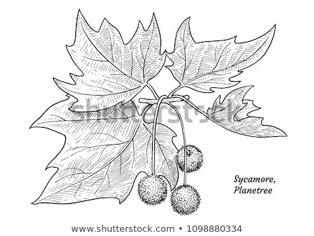 Sycamore fruits and leaves Stock photo © franky242