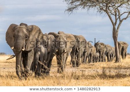 vecteur · sauvage · africaine · animaux · coucher · du · soleil · paysage - photo stock © ajlber