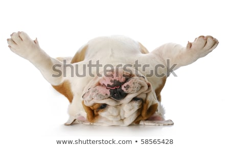 Foto stock: Adorable · bulldog · blanco · Inglés · rosa