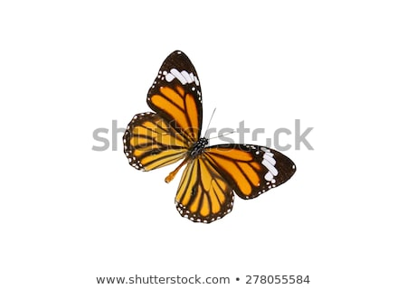 Common Tiger or Danaus genutia butterfly Stock photo © Yongkiet