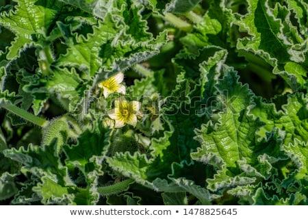 Prickly cucumbers Stock photo © vavlt