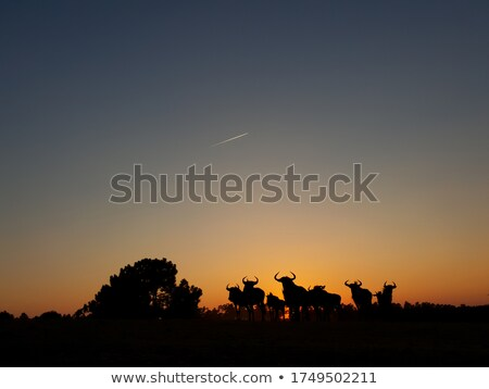 Bull at sunset Stock photo © adrenalina