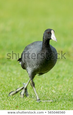 Coot walking showing large feet stock photo © rekemp