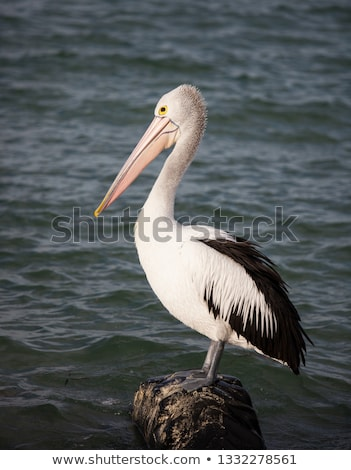 Australian pelicans (Pelecanus conspicillatus) Stock photo © dirkr