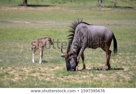 Buffalo in Kgalagadi Transfrontier Park Stock photo © meinzahn