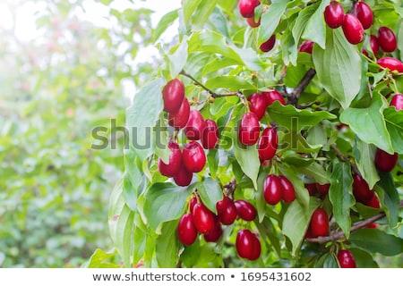family with dog harvesting cherries in garden stock photo © kzenon
