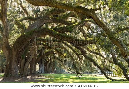 beautiful oak alley in south carolina stock photo © meinzahn